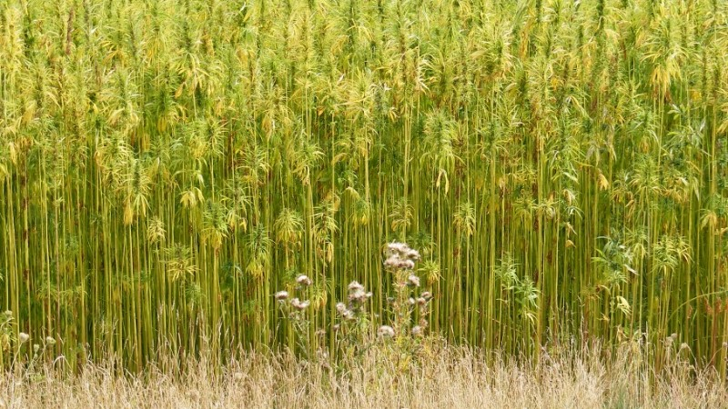 Healthy Hemp - The Benefits Of Hemp: Seed, Oil, Protein & More