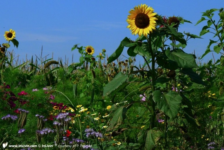 Inlivin-sunflowers-aug12
